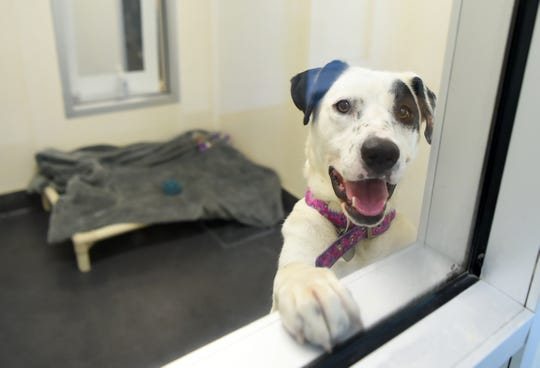 Harley, a young dog available for adoption at the SPCA of Tompkins County. June 21, 2019.