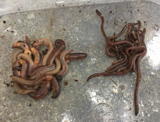 Jumping worms (right) are compared with night crawlers (left). The jumping worm is an invasive and destructive species that has turned up at multiple locations around the state.