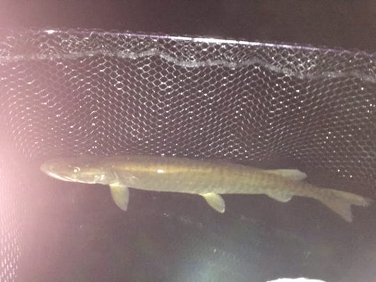 Musky in brief captivity after it recovered from a rough hook removal on White Sand Lake In July 2018.