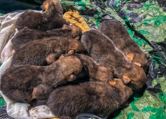 "Newborn Mexican gray wolf pups await release into a ""foster den"" of a wild wolf mother in wolf recovery habitat."