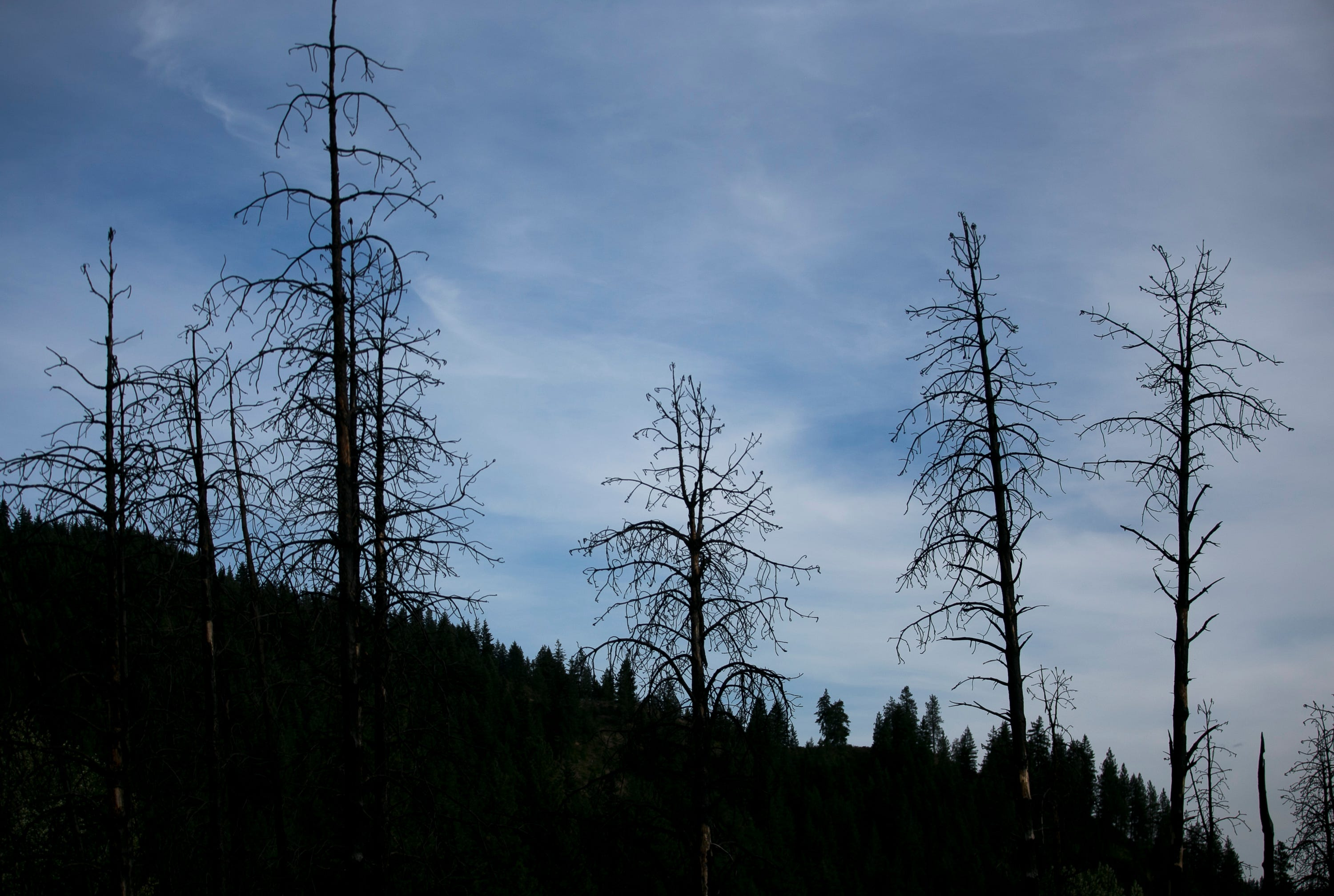 The burned remains of trees stand near the site of the 2017 Spromberg fire in Leavenworth, Washington, on June 17, 2019. The fire was started at the site of an old lumber mill and spread into the surrounding forest.