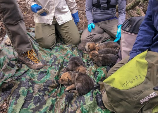 Members of a field team of state and federal wildlife agencies prepare to release captive-born Mexican gray wolf pups into the wild in wolf recovery territory.
