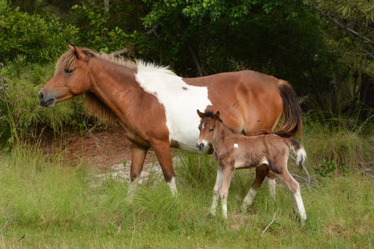 A new foal, N2BHS-ALR, was born on Assateague Island late in the afternoon on Friday, June 21.