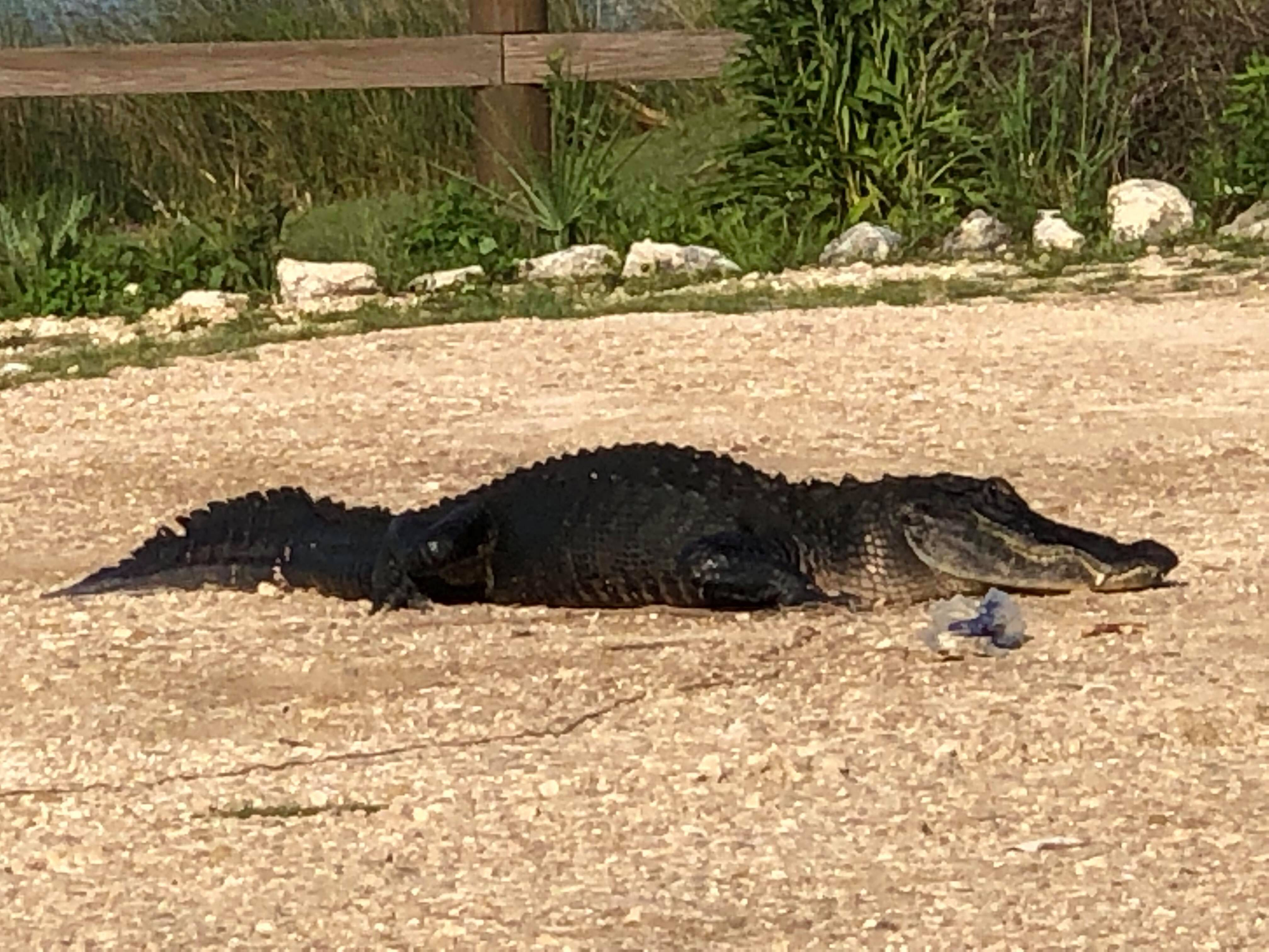 Watch your litter: Florida gator caught eating plastic at wildlife refuge