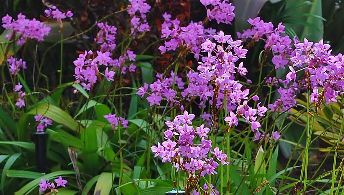 Yard Doc Ground Orchids Brighten Shady Gardens Balconies Patios