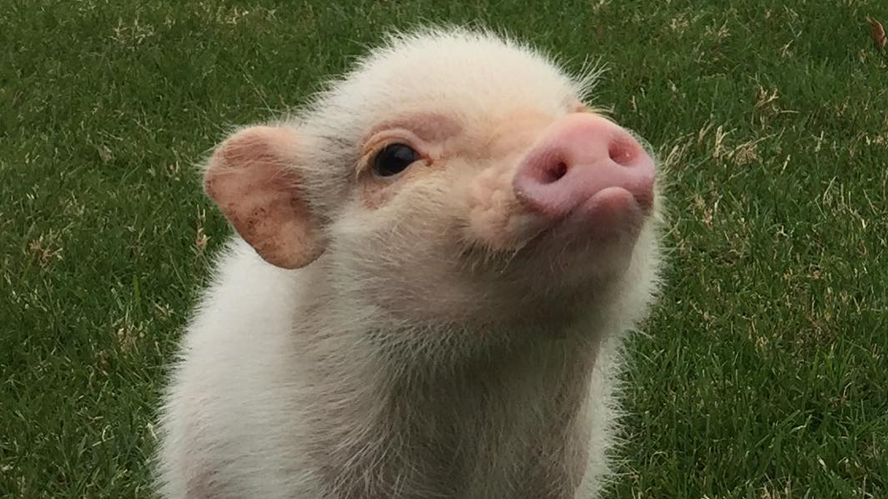 Hank the mini pig is the cutest thing you'll see today