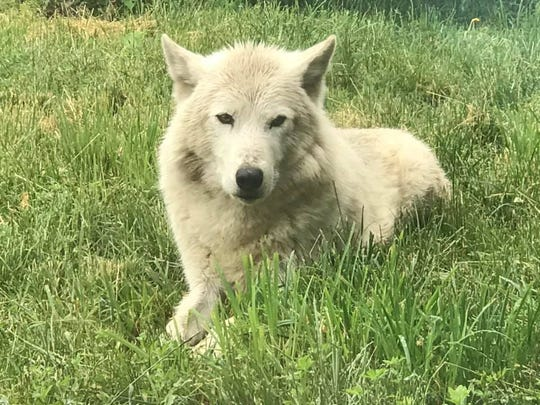 Wazi the gray wolf is photographed at the Detroit Zoo in 2018.
