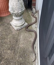 A 4 to 5-foot-long snake slithers on the patio of Kathy Kehoe's apartment in Fairless Hills, Pa.