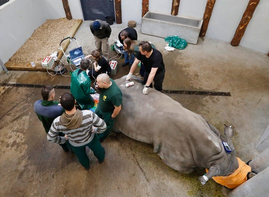 In this Wednesday, Feb. 13, 2019 file photo, a team of experts harvest eggs from a female southern white rhino, 17-year-old Hope, at a zoo park in Chorzow, Poland. Scientists in Europe said Tuesday June 25, 2019, they have successfully transferred a test tube rhino embryo back into the female whose eggs were fertilized in vitro, as part of an effort to save another nearly extinct sub-species of the giant horned mammal.