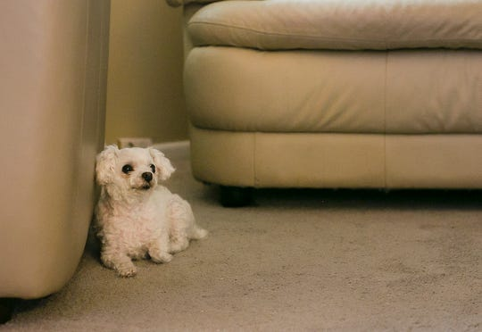 """Jody Sanders dog Cottonelle is an 11-year-old teacup poodle sits in his Indianapolis home, Monday, June 24, 2019. Sanders says his dogs help with his post traumatic stress disorder by reminding him to take his medicine and giving """"unconditional love,"""" said Sanders."""