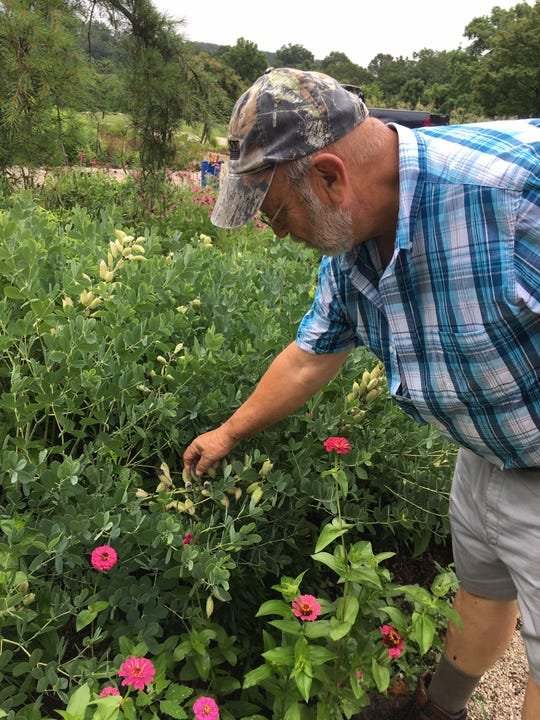 """Dan Steinhoff says the seed pods of baptisia, or """"false indigo,"""" are known as """"rattleboxes."""" June 19, 2019."""