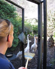 Milwaukee zoo aviary keeper Caty Coutant uses a broom to gently prevent whooping cranes Tiki and Torch from escaping from their enclosure. Tiki and Torch are foster parents to a chick hatched from an egg that came from the International Crane Foundation in Baraboo.