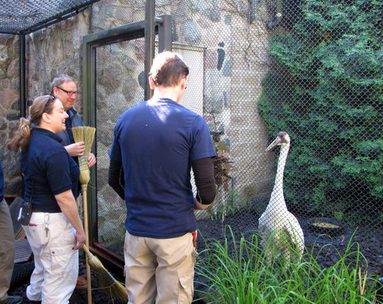 Milwaukee zookeepers Mike Frayer, Patti Dibb and Bryan Kwiatkowski prepare to move into the whooping crane enclosure and use brooms to gently keep the squawking cranes away from other keepers filling food and water bowls. The Milwaukee zoo's pair of whooping cranes, Tiki and Torch, are foster parents to a chick hatched from an egg from the International Crane Foundation in Baraboo.