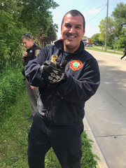 Rick Guerra, firefighter with the Sussex Fire Department, is holding a duckling he helped rescue across from Sussex's Madeline Park before he reunited the duckling with his mother.