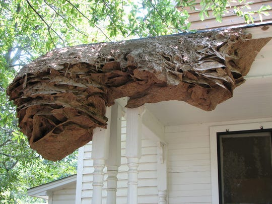 This large yellow jacket nest was found on a porch in a home in Chilton County in 2006.