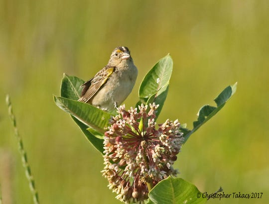 A grasshopper sparrow photographed on the Avon landfill in Lyndhurst in 2017. The species is considered threatened in New Jersey.