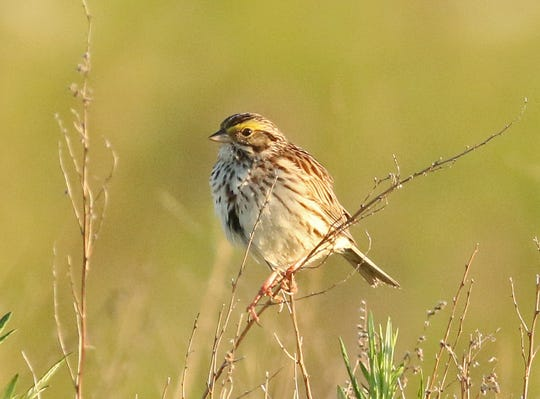 A Savannah sparrow photographed on the Avon landfill in Lyndhurst on June 22, 2019. The species is considered threatened in the New Jersey.