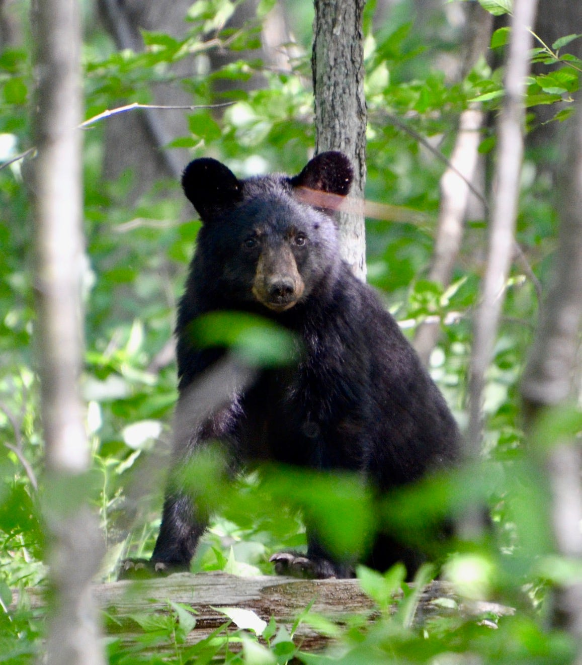 Den Mother Black Bear Bell Pull
