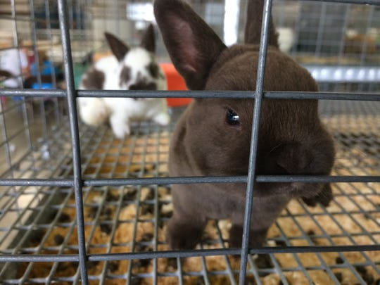 A young rabbit peers out of its cage Monday, June 24, 2019, at the Wayne County Fair.