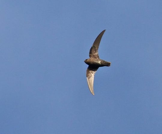 A female black swift, more brownish in her coloring, shows the long flight feathers that keep her aloft ten months of the year.