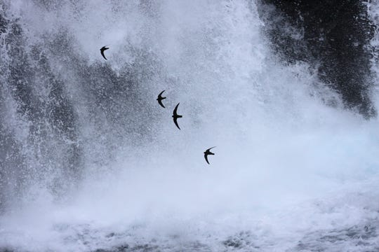 Black swifts dash in front of their nests at Burney Falls