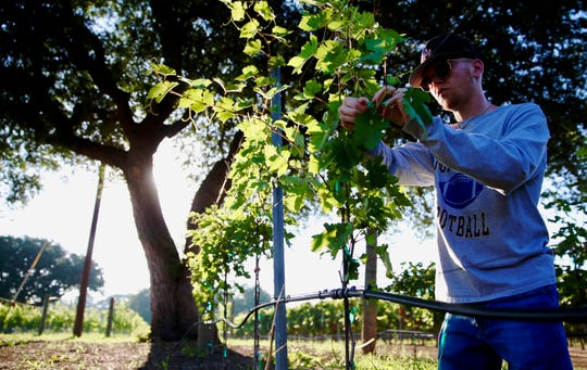 Avery Whitehead tends to a vine at Christoval Vineyard and Winery on Thursday, June 20, 2019.