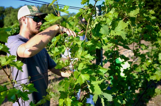 Matthew McCabe works on a grape vine at Christoval Vineyard and Winery on Thursday, June 20, 2019.