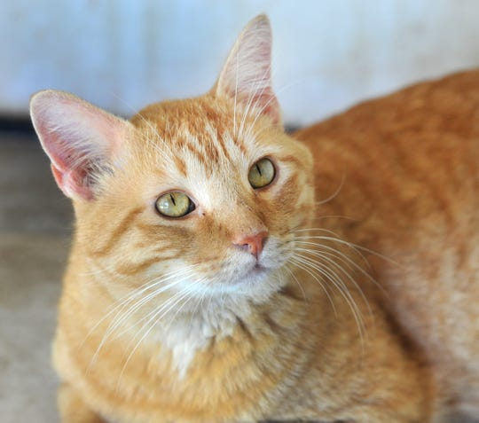 Sherman is a 4-year-old domestic short haired tabby that is looking for his fur-ever home. He gets along with just about everybody and other cats. You can meet Sherman at the Humane Society of Wichita County located on Iowa Park Rd.