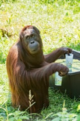 An orangutan fills his cups with water at the zoo Schoenbrunn in Vienna, Austria, Tuesday, June 25, 2019. Europe is facing a heatwave with temperatures up to 40 degrees.