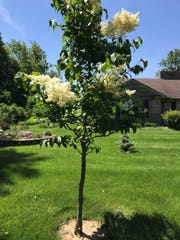 Ivory Silk Japanese Lilac tree