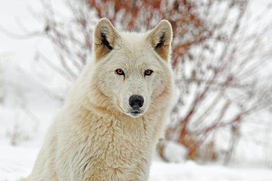 Detroit Zoo's gray wolf, Wazi, dies from cardiac arrest