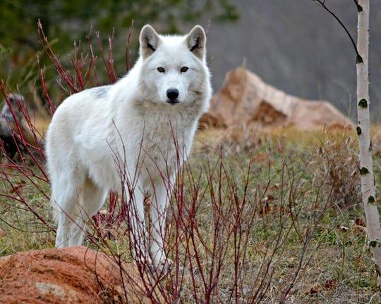 Wazi the gray wolf