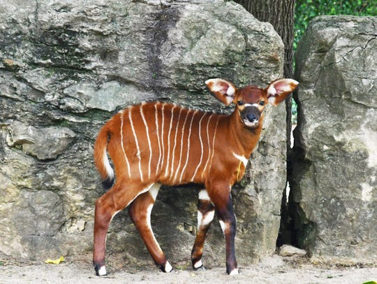 Groot, the Bongo calf at Louisville Zoo