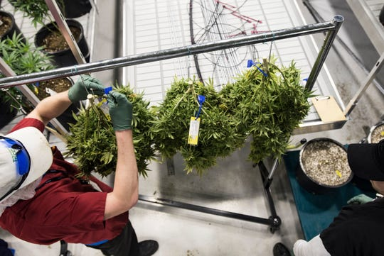 Employees at Green Peak Innovations in Windsor Township, near Lansing, pull marijuana plants to be dried. Green Peak specializes in marijuana growing, testing and processing for various products sold at commercial businesses.