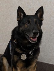 K-9 Bane of the St. Francis Police Department is an almost 8-year-old German Shepherd.