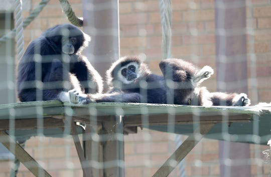 Gibbon apes Robyn (left), 37, and Yule, 53, relax at the Racine Zoo.