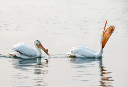 """Pelicans In Late May"" by Sharon Abel is among the work's that will be displayed in ""Hidden Gems."""