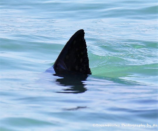 Shark? No, try spotted eagle ray doing its best shark impression. There are rays coming in close to shore lately.