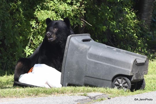 A black bear searches for food in a trash can in Hillburn on June 26, 2019.