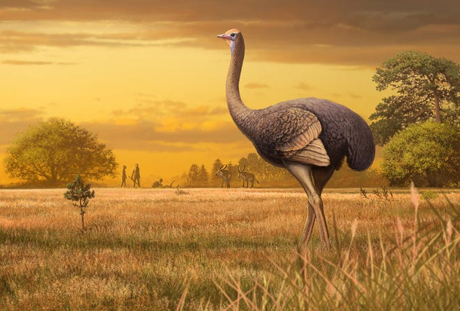 An artist's conception of the giant, 1,000-pound bird that once roamed around Europe.