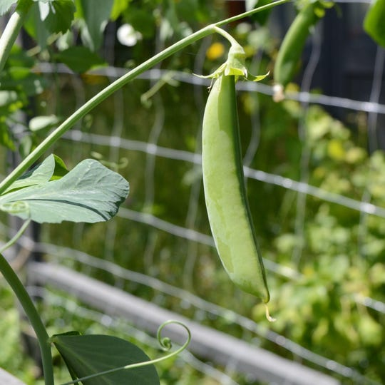 There's no good way to preserve a snap pea, so eat them up while they are abundant.