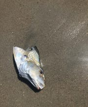 A washed up fish on shore at Pelican Beach, just a day after the shark sighting. Similar bait is used for on-shore shark fishing that will begin on July 1.