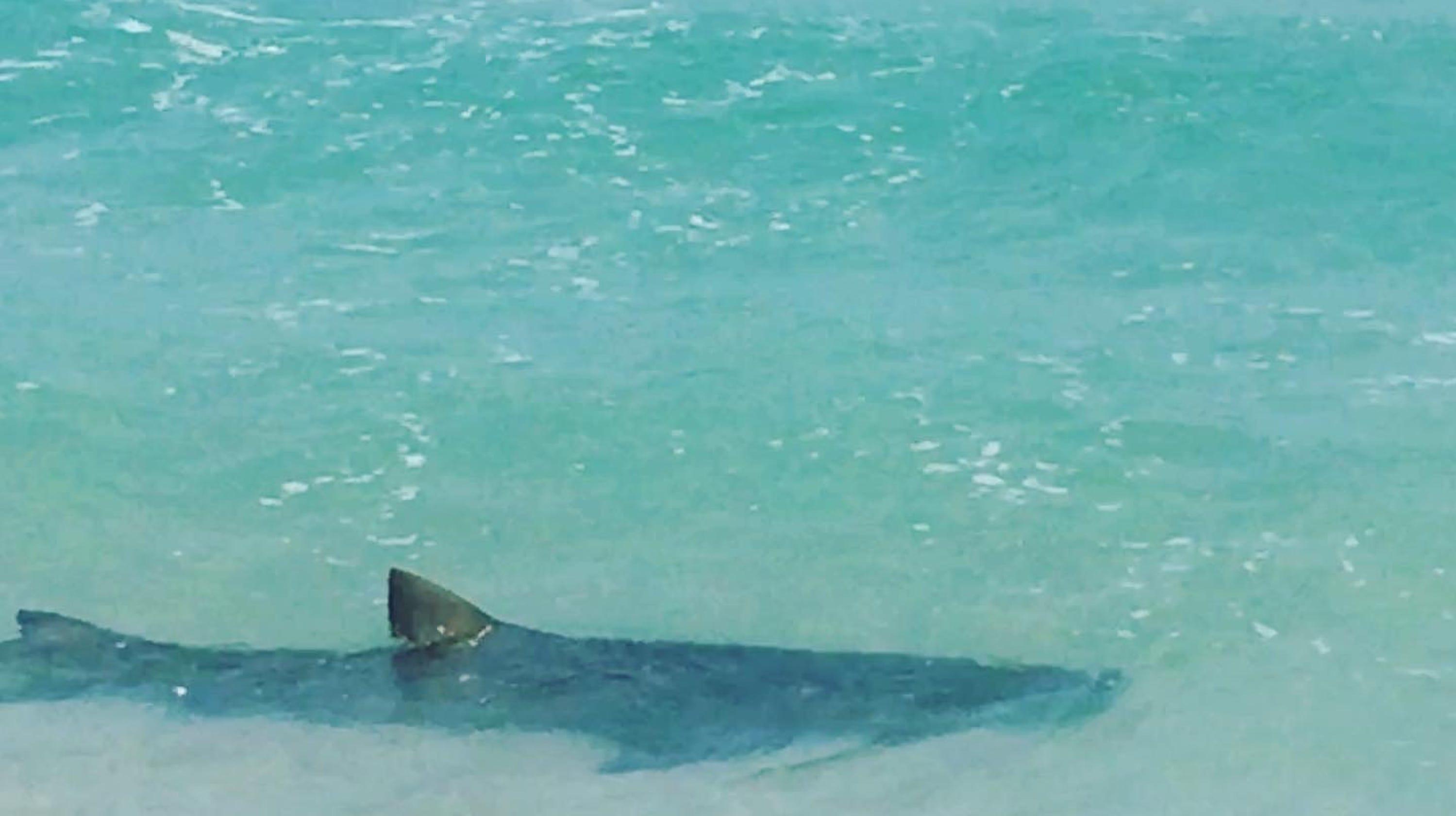 Pelican Beach Park: Shark cruising shoreline may be harmless