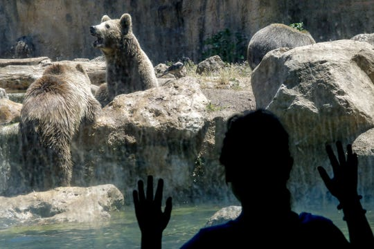 A child looks at brown bears through a window at Rome's zoo. Zookeepers at the Bioparco often give animals ice blocks with either fruit or meat inside on hot summer days