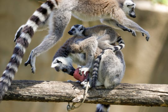 A lemur jumps over another lemur sucking on a fruit icicle with a baby on its back on a hot day, in Rome's zoo.