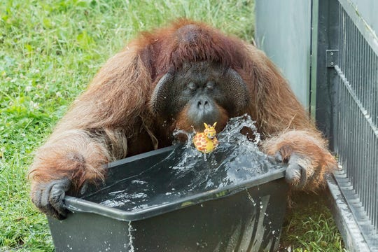 An orangutan plays with water at the zoo Schoenbrunn in Vienna, Austria.