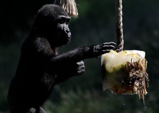 A Western lowland gorilla Ajabu enjoys her ice cream, prepared from fruits and vegetables, on a hot and sunny day at the Prague Zoo, Czech Republic, Thursday, June 27, 2019. (AP Photo/Petr David Josek)