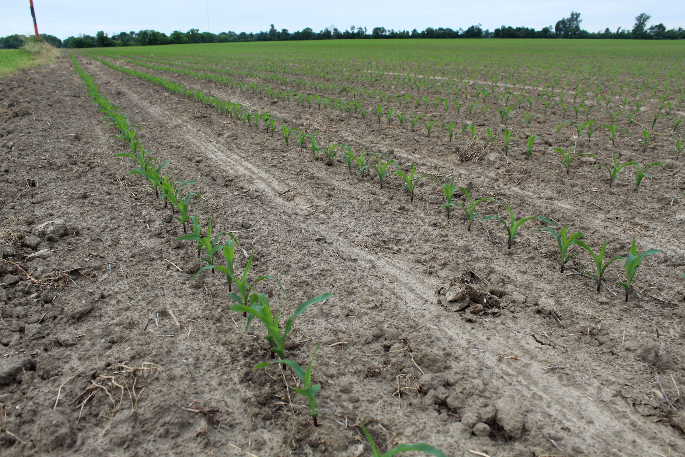 This is one of Chad Gargas' corn fields that did get planted this year in Ottawa County. He estimated he had planted only 157 acres of corn and 60 acres of soybeans on roughly 2,000 acres.