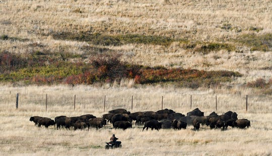 A rider approaches some bison in a holding pasture on the National Bison Range a few years ago near Moise, Mont. during the annual bison roundup.