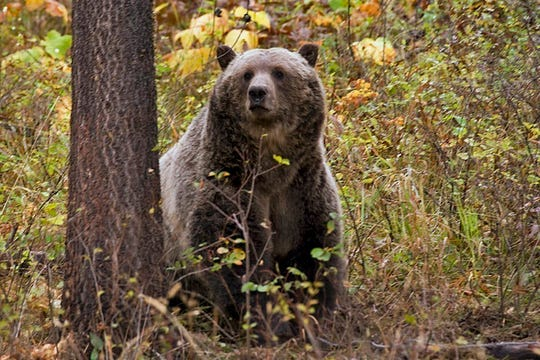 FILE - This undated file photo provided by the Montana Fish, Wildlife and Parks shows a sow grizzly bear spotted near Camas in northwestern Montana.